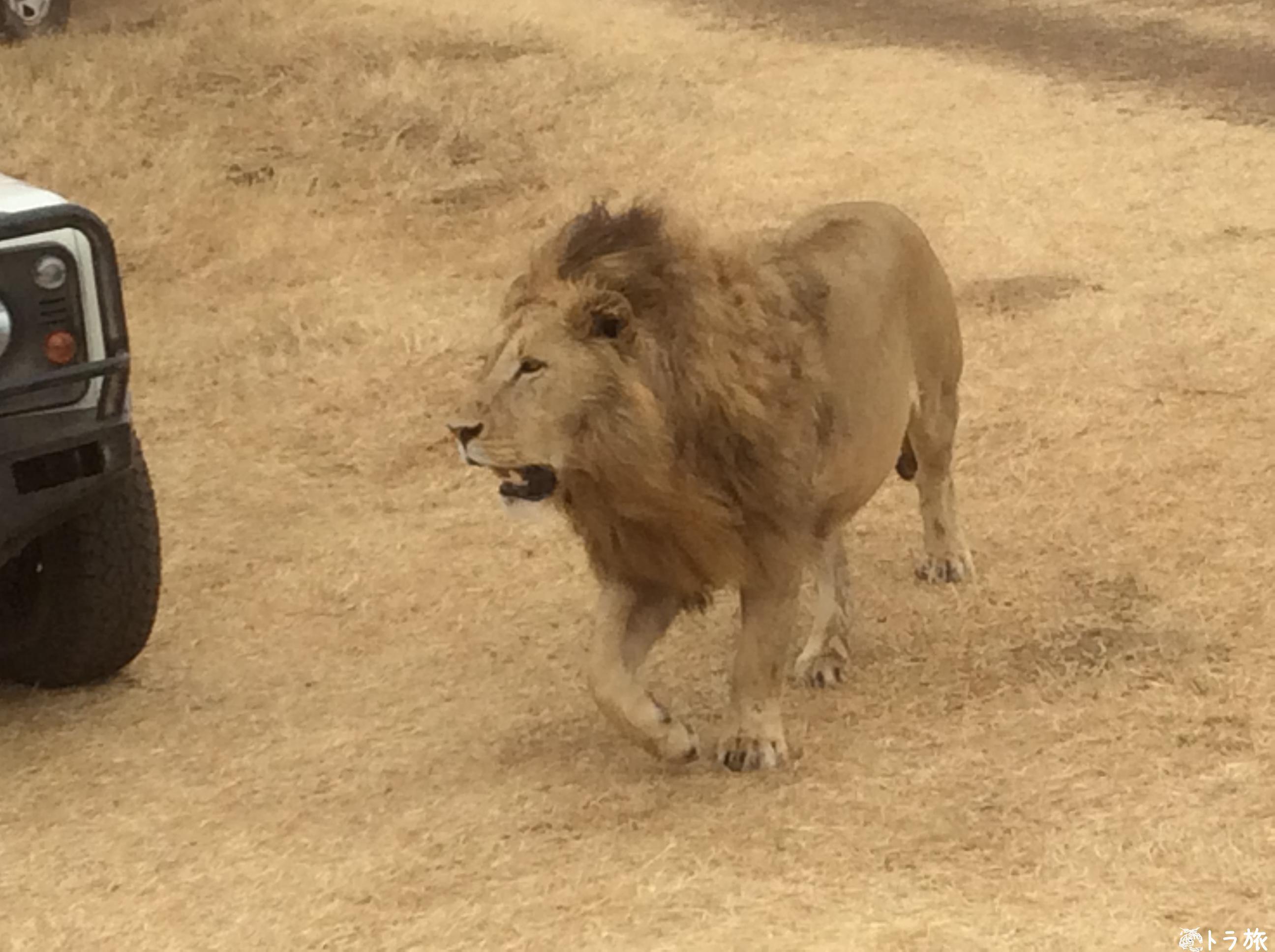 【ンゴロンゴロ】野生のライオンが最も近く見れるサファリ!?
